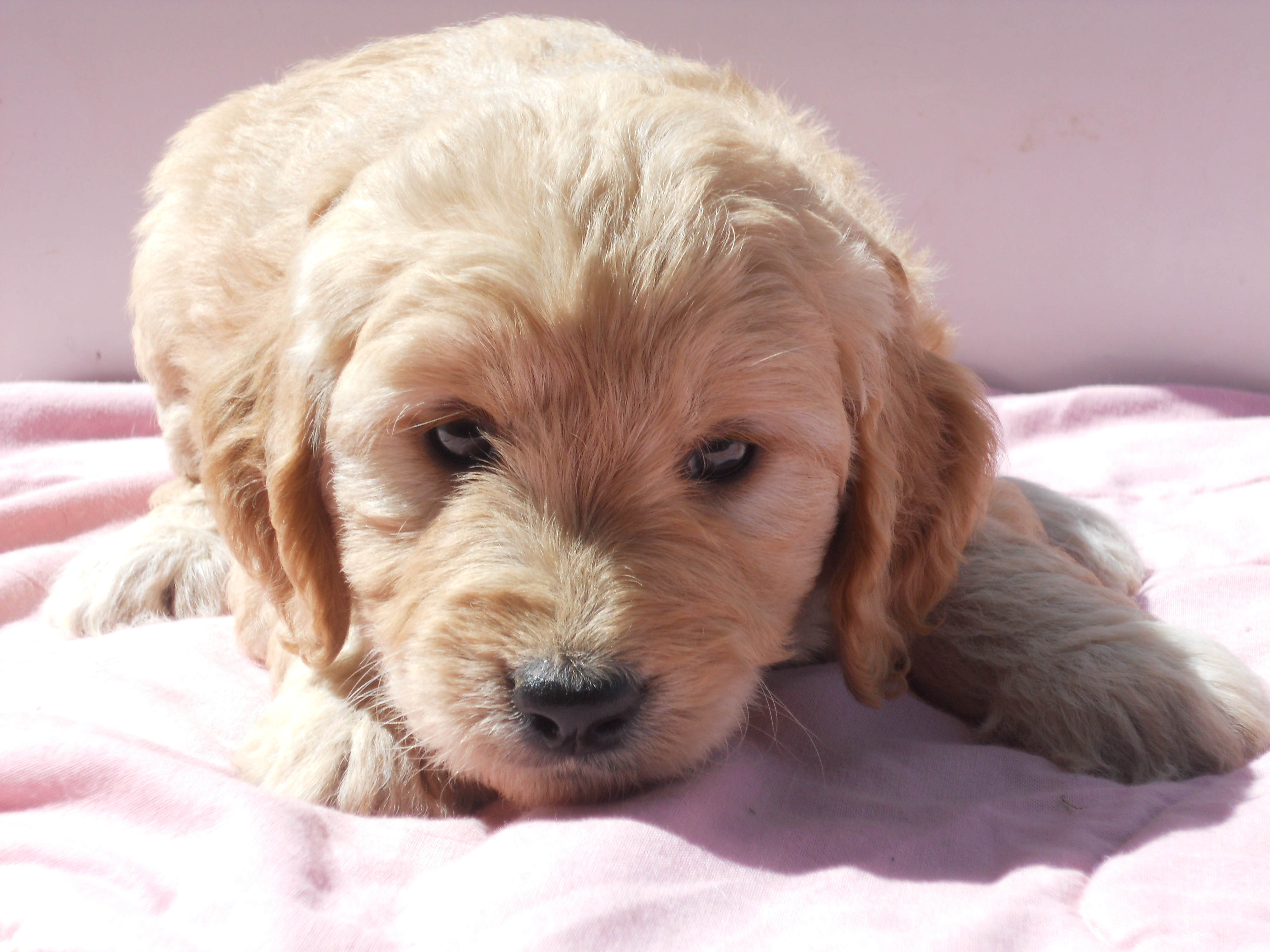 Our Mini GoldenDoodles | Dream About Farm-Updated 5-18-19