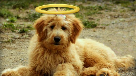 golden-doodle-halo